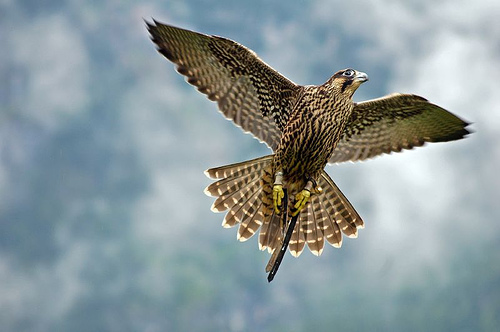 Falcon flying by Alexander Kuchar